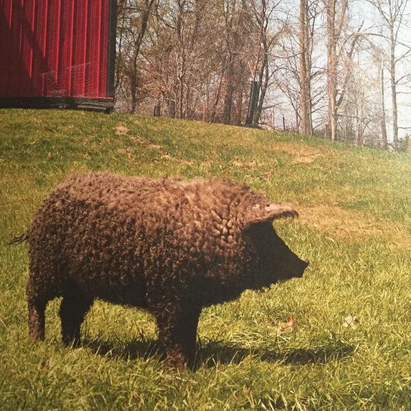 羊みたいな体毛を持った豚『マンガリッツァ』。モフモフ! (11)