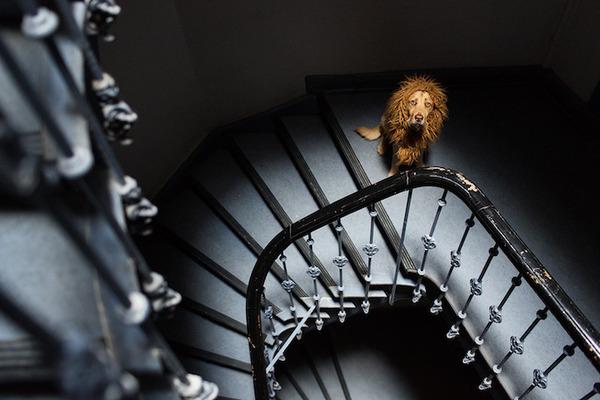 ライオン…の格好をしたわんこが街をさまよい歩く!【犬画像】 (8)
