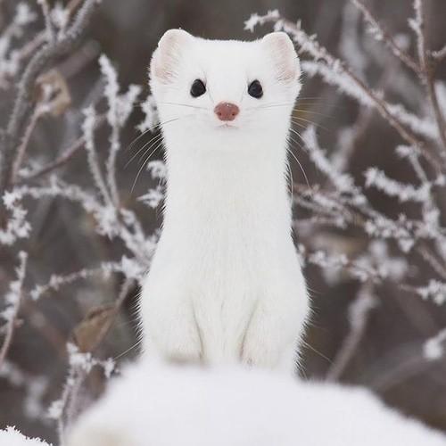 純白が美しすぎるオコジョの画像 2
