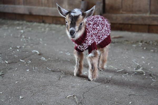 生まれたての赤ちゃん子羊のために特製ニットのセーター(2)