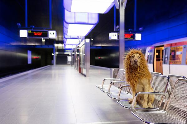 ライオン…の格好をしたわんこが街をさまよい歩く!【犬画像】 (13)