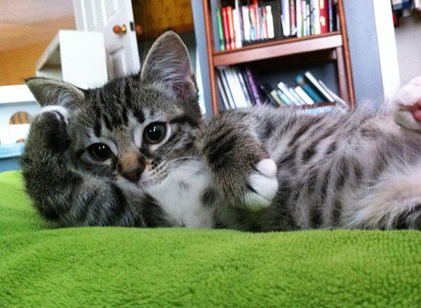 モデルのようにポーズを取る可愛い動物特集 猫 5