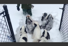吹雪の中、雪を掻き分けて楽しむ犬達