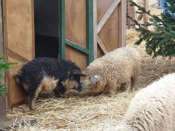 羊みたいな体毛を持った豚『マンガリッツァ』。モフモフ! (5)