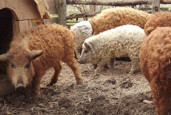 羊みたいな体毛を持った豚『マンガリッツァ』。モフモフ! (20)