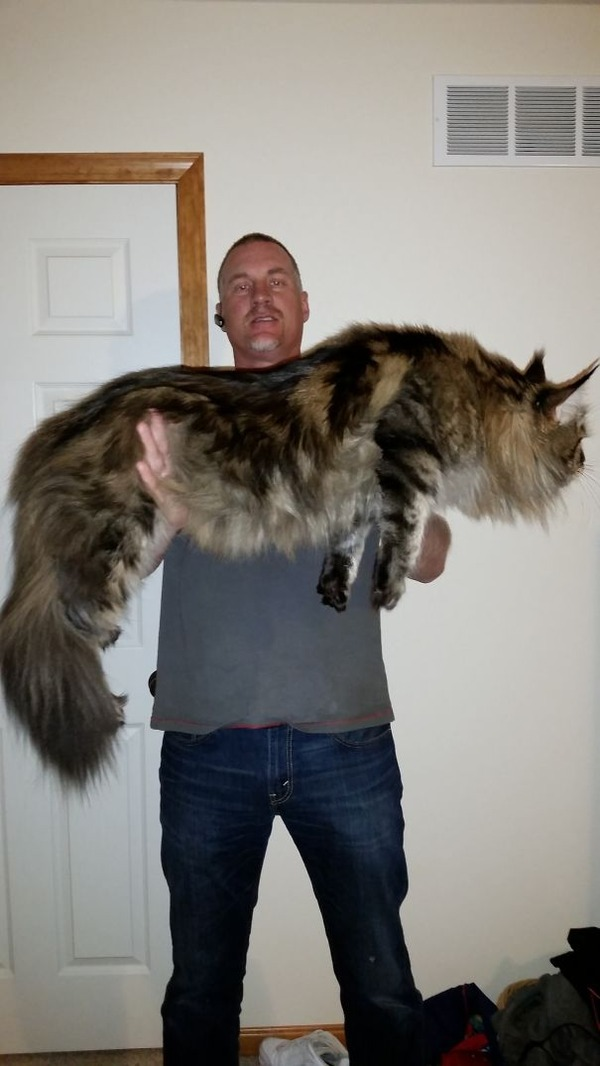 でかすぎる!大型のイエネコ長毛種メインクーン画像【猫】 (51)