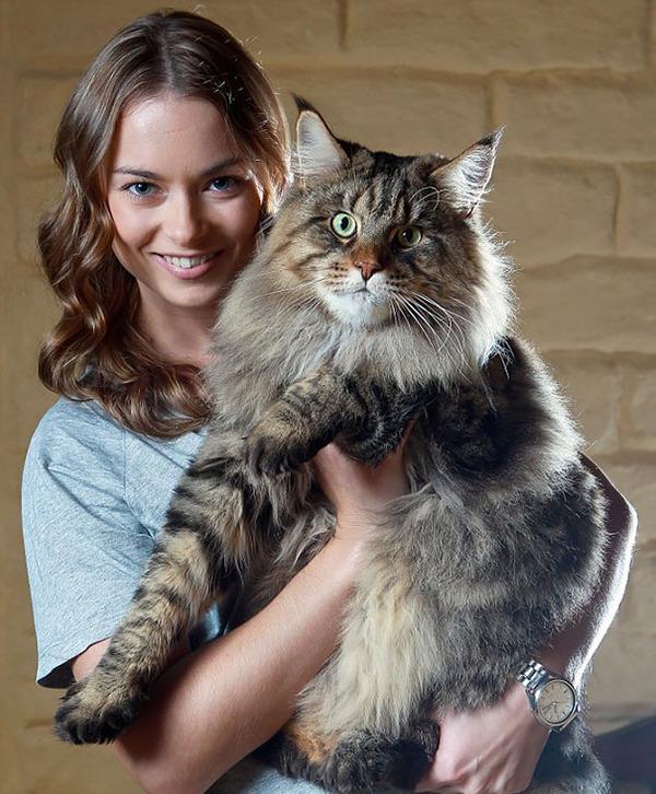 でかすぎる!大型のイエネコ長毛種メインクーン画像【猫】 (29)
