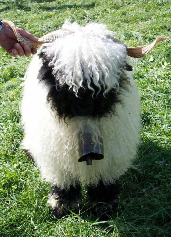 ヴァレーブラックノーズシープ!モフモフな羊 (14)