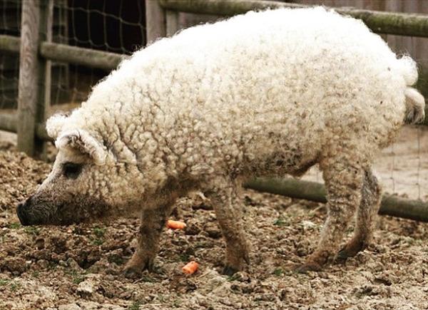 羊みたいな体毛を持った豚『マンガリッツァ』。モフモフ! (17)