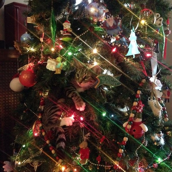 猫、あらぶる!クリスマスツリーに登る猫画像 (34)