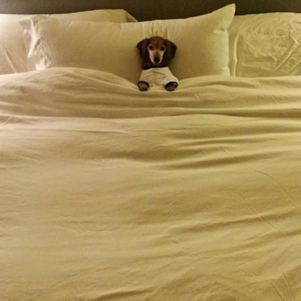 ベッドで寝る犬 かわいいおもしろ画像 17