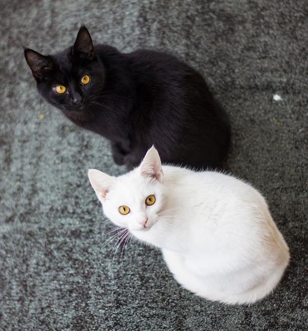 黒猫と白猫どっちが好き?どっちも可愛すぎ【猫画像】 (9)