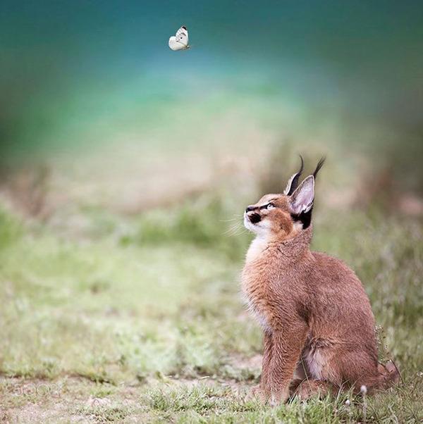 カラカルの画像!麻呂眉と耳の房毛が特徴的なネコ科動物 (21)