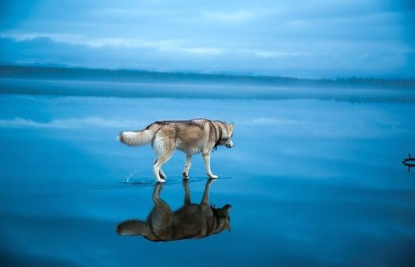 湖とシベリアンハスキー