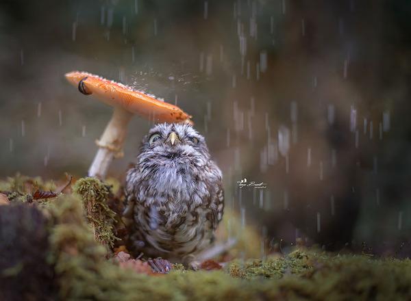 ファンタジック!森のキノコで雨宿りするフクロウの画像ほか (1)