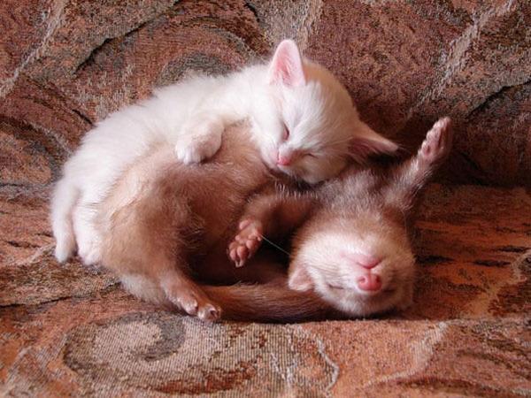 猫とフェレットのお昼寝