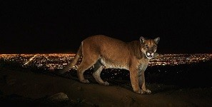 ロサンゼルスに生息する野生動物の写真 スティーヴ·ウィンター