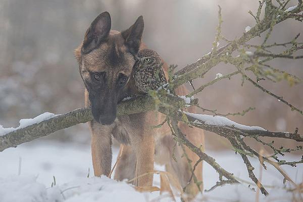 犬とフクロウの仲良し画像 (1)