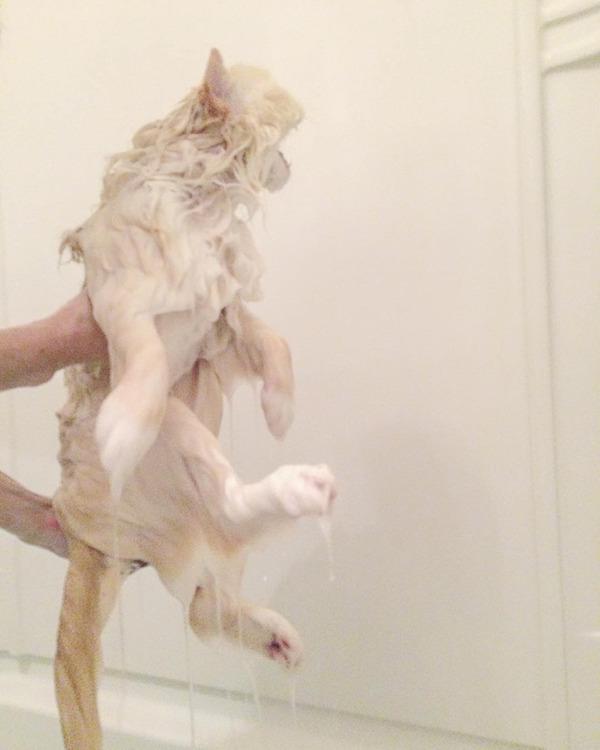 さぁモフれ!ふわふわすぎるラグドールが話題に【猫画像】 (12)