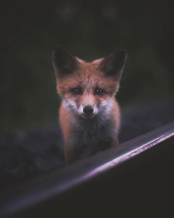 キツネやリスと戯れようぜ!フィンランドの胸キュン野生動物 (2)