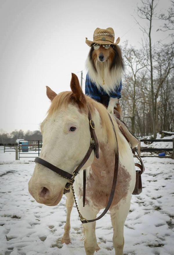 ウマの背中に乗るカウボーイコリー