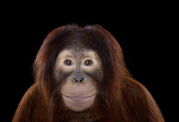 オラウータンの肖像写真、スタジオポートレート