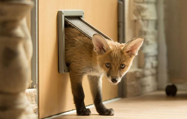 猫用のドアを通して、家の内外を移動するDinozzo