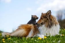 赤ちゃんキツネと犬の友情!母親を亡くした狐を育てるコリー