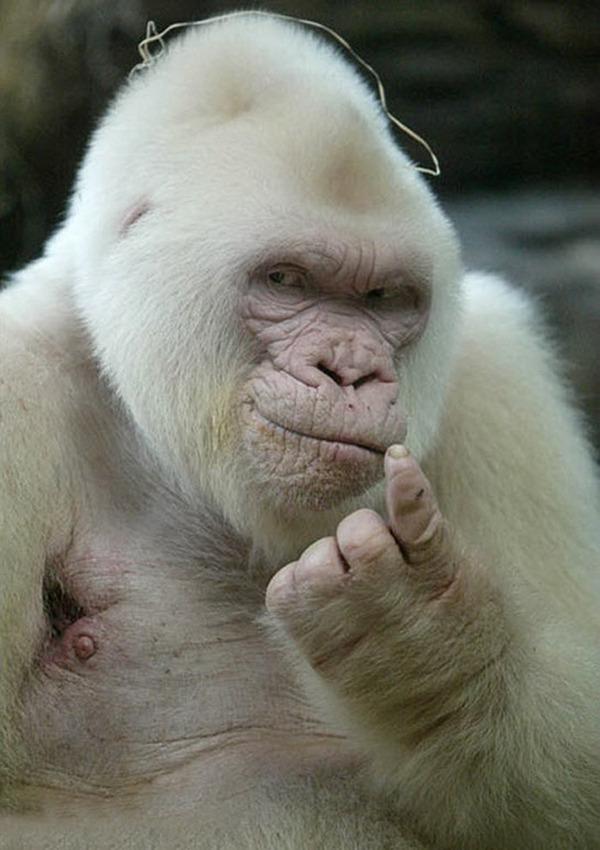 モデルのようにポーズを取る可愛い動物特集 ゴリラ