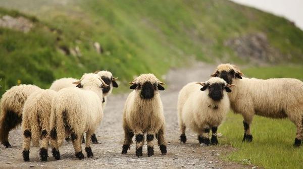 ヴァレーブラックノーズシープ!モフモフな羊 (12)