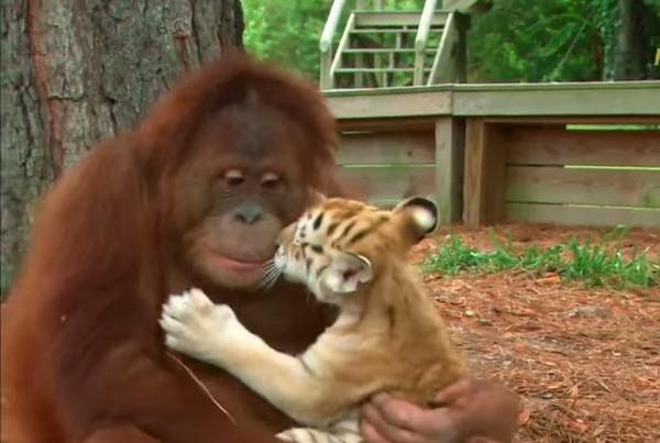 オランウータンと子虎の親子
