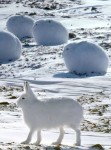 愛すべき純白なモフモフ。その名はホッキョクウサギ!