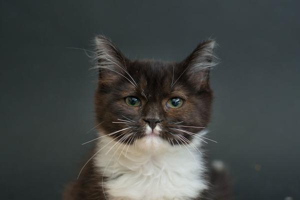 アメリカのアニマルシェルターで里親を待つ黒猫たちの写真 (12)