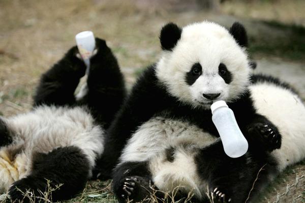 かわいいジャイアントパンダの画像 5
