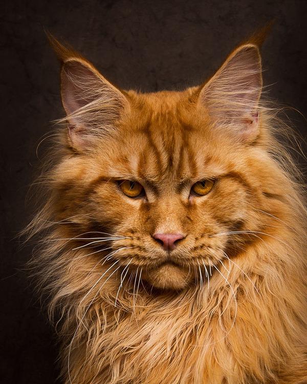 メインクーン画像!気品ある毛並みに威厳ある風貌の猫 (7)