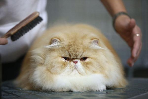 綿菓子フワフワ!モフモフしたくなる長毛種の猫画像 (25)