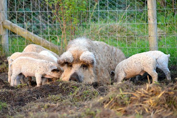 羊みたいな体毛を持った豚『マンガリッツァ』。モフモフ! (6)