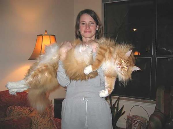 でかすぎる!大型のイエネコ長毛種メインクーン画像【猫】 (30)
