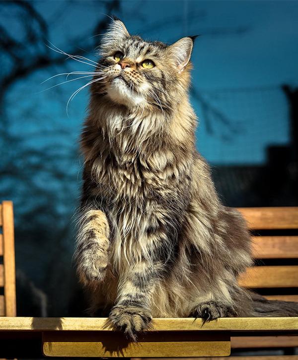 でかすぎる!大型のイエネコ長毛種メインクーン画像【猫】 (49)