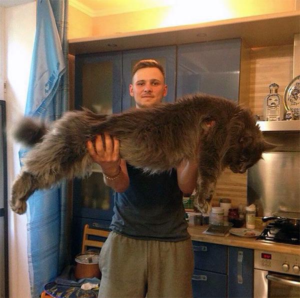 でかすぎる!大型のイエネコ長毛種メインクーン画像【猫】 (21)