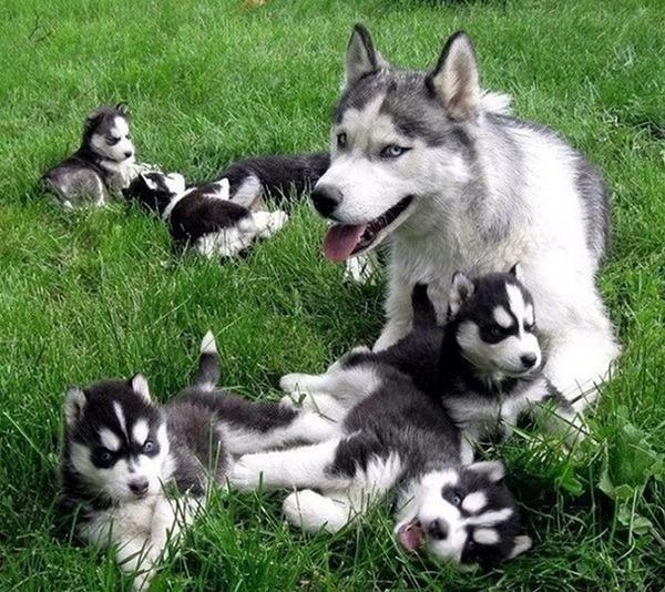 お母さん犬とその子犬達のソックリ集合写真!犬親子画像 (13)