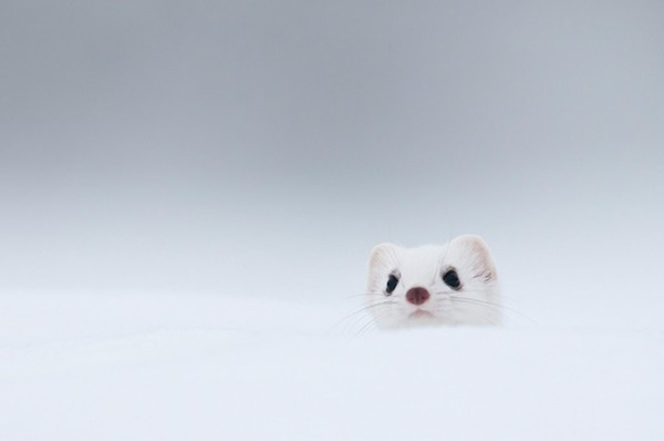 純白が美しすぎるオコジョの画像 15