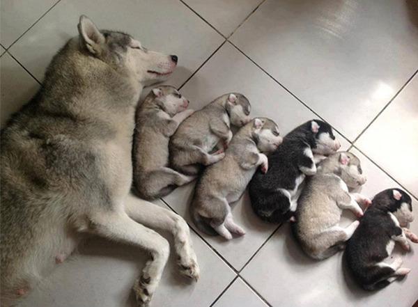 お母さん犬とその子犬達のソックリ集合写真!犬親子画像 (7)