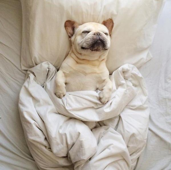 ベッドで寝る犬 かわいいおもしろ画像 10