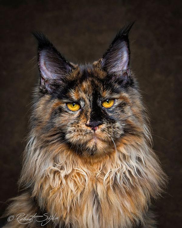 メインクーン画像!気品ある毛並みに威厳ある風貌の猫 (10)