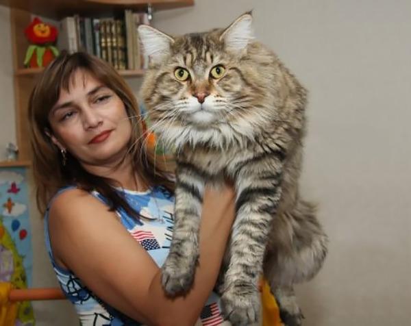 でかすぎる!大型のイエネコ長毛種メインクーン画像【猫】 (33)