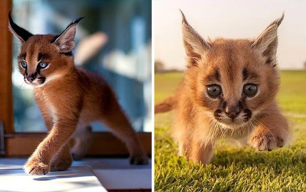 カラカルの画像!麻呂眉と耳の房毛が特徴的なネコ科動物 (34)
