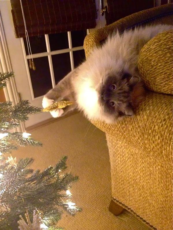 猫、あらぶる!クリスマスツリーに登る猫画像 (1)