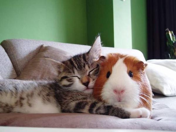 猫とモルモットのお昼寝