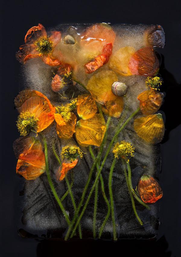 絵画的な美しさ。氷漬けになった花々の写真シリーズ (3)